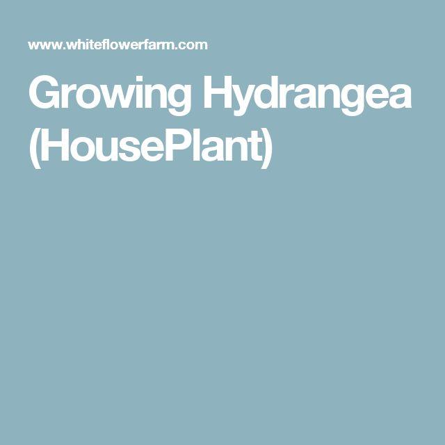 Growing Hydrangea (HousePlant)