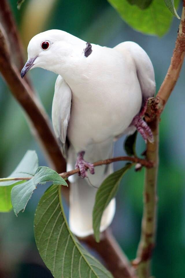 Ring Neck Doves..love their cooing, even in the strangest times of night…