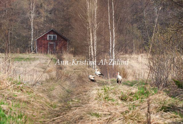 Ann-Kristina Al-Zalimi, kattohaikarat, kattohaikara, kirkkonummi, luoma