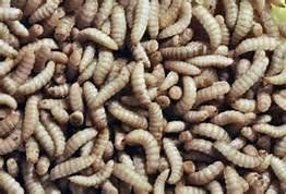 ReptiWorms TM are naturally high in calcium and low in fat.No feeding no maintenance to keep them.Low die off/waste. Compare to Crickets.No chirping like crickets No Smell like Crickets.Can be k...