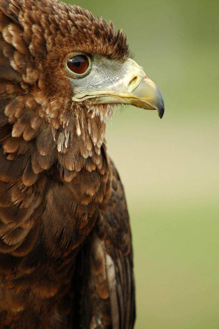 152 best Águilas, Halcón images on Pinterest | Pájaros bonitos, Aves ...