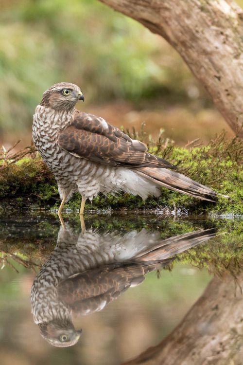 avianeurope:  Eurasian Sparrowhawk  (Accipiter...