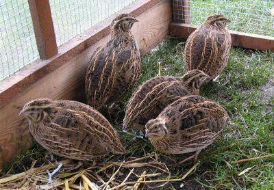 raising quail (for eggs).. and dinner!  We loved watching them, dad raised many many of them