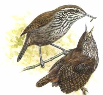 Stripe-breasted Wren - Cantorchilus thoracicus