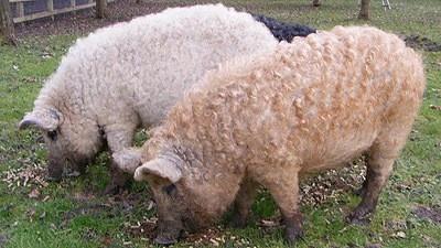 Lincolnshire / Mangalitza curly coat Pigs- fleece akin to a sheep.