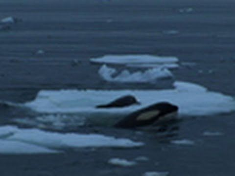 """Killer Whales """"Gang Up"""" to Capture Seal  http://www.youtube.com/watch/?v=3__L0oAa2T8  Naturalists and guests on a National Geographic Expeditions cruise in Antarctica witness and record the phenomenon of Type B Orcas working in unison to dislodge a seal from an iceberg."""