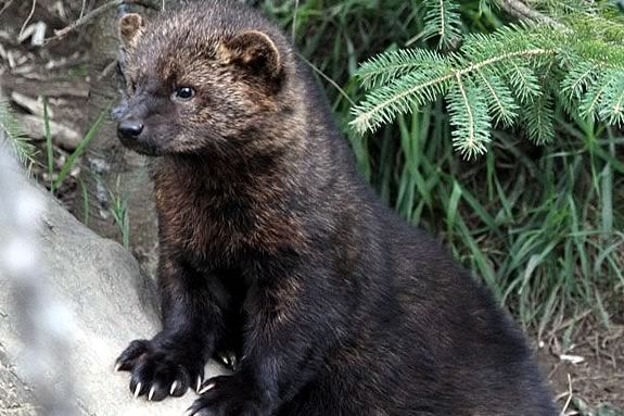Saw a fisher cat in my yard the other day. She seemed to be out in search of a new home for her and her two  babies. She carried each one quickly, but cautiously, across my backyard to the woods. I was in the right place at the right time to see it! (May 2012)