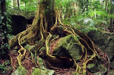 Ancient fig tree