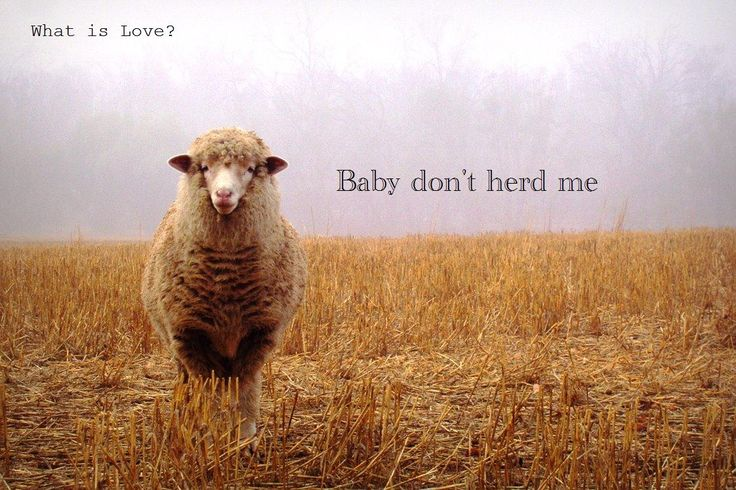 What is love?: Words Of Wisdom, Funny Pictures, Funny Animal Photo, What Is Love, The L Word, Landscape Photography, Sheep, Animal Puns, Smart Girls