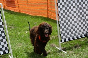 Patricious the Irish water spaniel