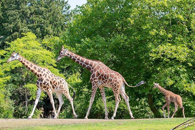 Tell Us What S Your Dream Job In Wildlife Conservation Come To An Info Session On Our Advanced Inquiry Progr Giraffe Woodland Park Zoo Wildlife Conservation