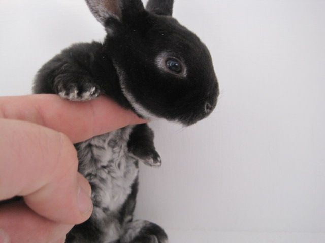 11 Mini Rex Rabbits For Sale Jacksonville Florida Mini