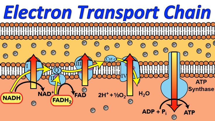 A musical explanation of the mitochondrial electron transport chain, and how it produces ATP. LYRICS Electron transport chain Welcome to this story about cel...