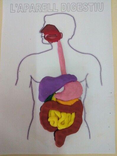 Aparell digestiu plastilina