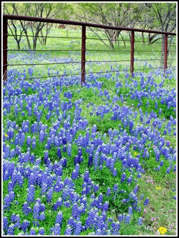 Oh those Texas blue bonnets...