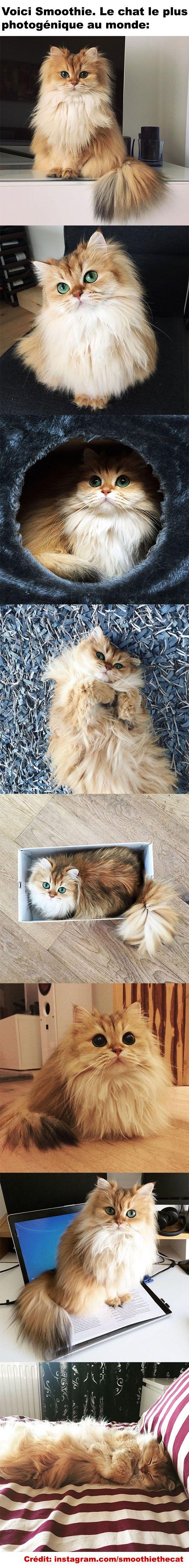 Smoothie - Le chat le plus photogénique au monde