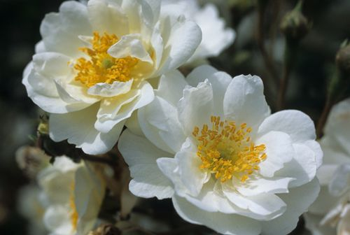 Meer dan 1000 idee n over donkerpaarse bloemen op pinterest paarse bloemenmeisjes bloem namen - Sterke witte werpen en de bal ...