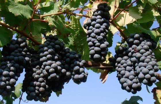 Vinhos & Acessórios: UVA LAMBRUSCO