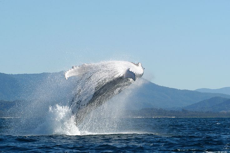 Whale breaching, Byron Bay in August, photo courtesy Essentially Australia friend and local whale expert Dan Burns.
