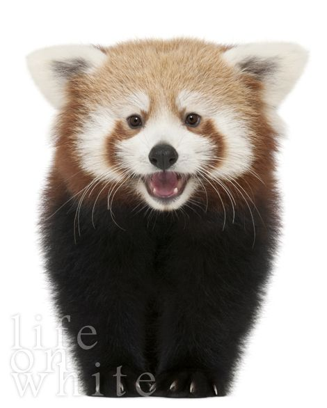 Red Pandas might just be one of the cutest species on the planet. <3