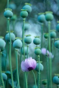 Poppy Heads by Joe Cornish