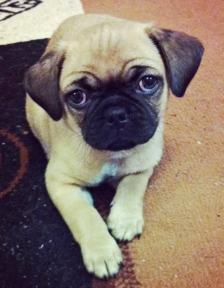 pug mixed with chihuahua best 25 pug breed ideas on pinterest pug puppies pug 2933