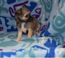 Photos Vivastreet Chiot chihuahua disponible de suite