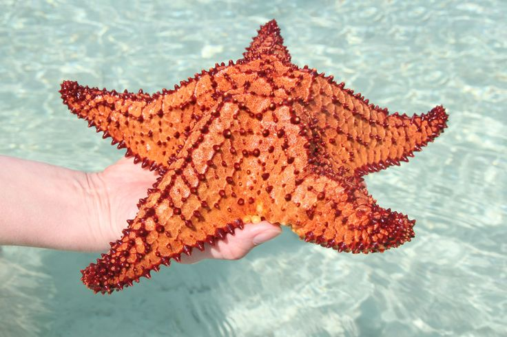 Starfish in Hopkins, Belize