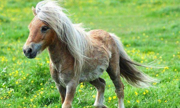Caballos-caballos-ponis-pelo