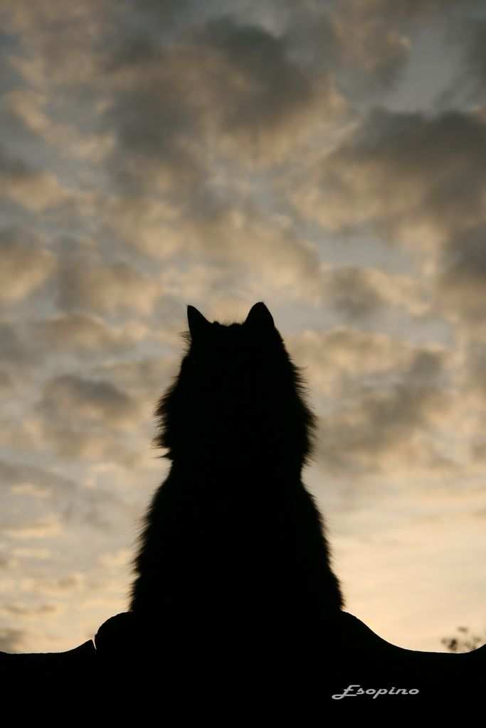 .Groenendael, Meow, Maine Coon, Beautiful, Silhouettes, Kitty, Night Sky, Animal, Baby Cat