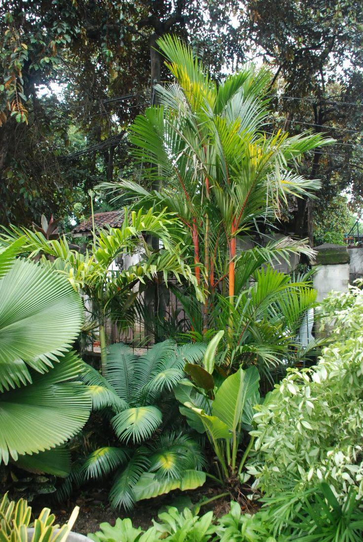 Licuala elegans, Variegated Adonidia merillii, , Cycas, Cyrtostachys renda Tropical  LandscapingTropical ...