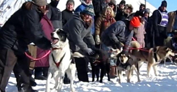 """Fue en la carrera deApóstol Isla Sled Dog en Bayfield donde las cámaras pudieron captar este hermoso acontecimiento n el que un perro llamadoO'Riley quien forma parte de un equipo de Jim, comformado de perros de rescate. En el video casi podemos escuchar claramente como el perro quisiera hablar y muchos dicen que estaba tratando de decir """"RUN, RUN"""" que significa CORRE CORRE. Mientras salta y jala a los demás. Su dueño trata de tranquilizarlo, pero el no puede con la emoción. ¿No es…"""
