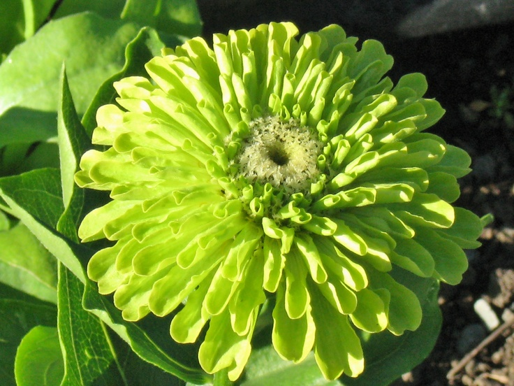 green envy zinnia- Farmers on 57th