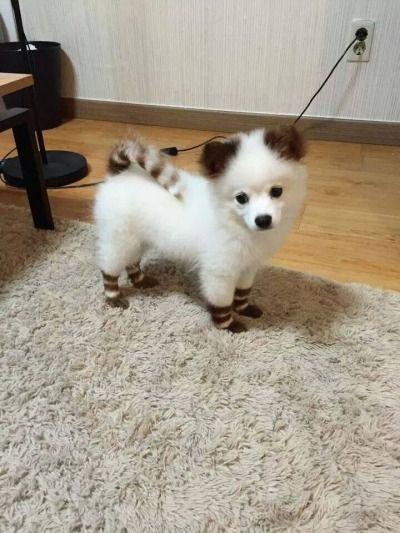 Petit chien blanc à rayures.