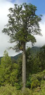 kahikatea-adult-specimen-atx-tree-botanics