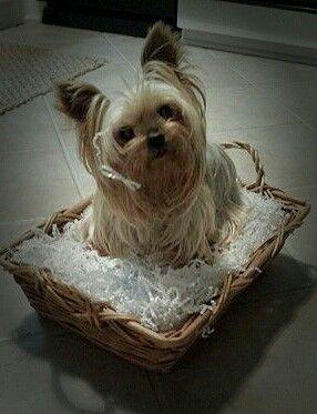 Frisur fur yorkshire terrier