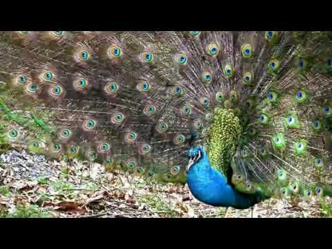 stock footage rare video of wild peacock giving out a mating call and th...