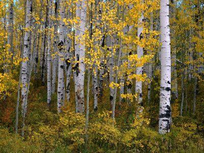 quaker aspen trees