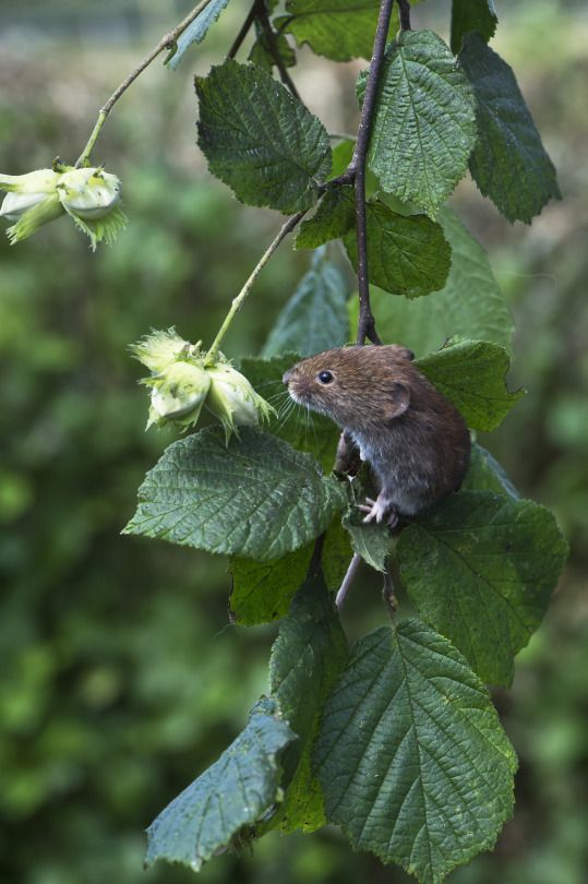 Bank Vole (Clethrionomys glareolus) by Phil Winter  Via Flickr:  I found out what good climbers these are a couple of years ago. I set up a makeshift bird table by jamming a piece of board into a bramble bush. I placed a camera trap in front to see what birds were using it. I was surprised to see how often I caught these as well as mice eating the bird food.