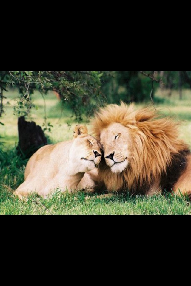 Lion And Lioness Quotes. QuotesGram