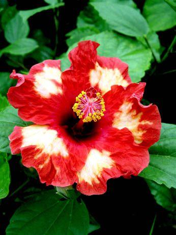 Hibiscus American Splendor