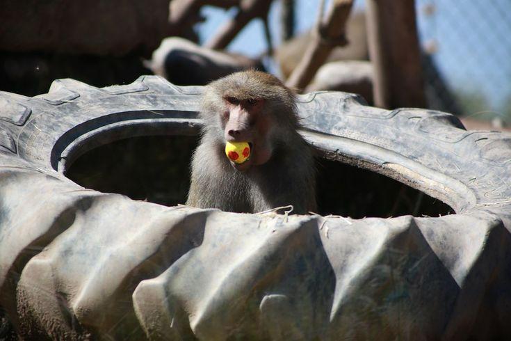 Spiumato ma felice - Il Post - Un babbuino gioca con un uovo di Pasqua nello zoo di Santiago, in Cile. (Buin Zoo/Xinhua/ZUMA Wire)