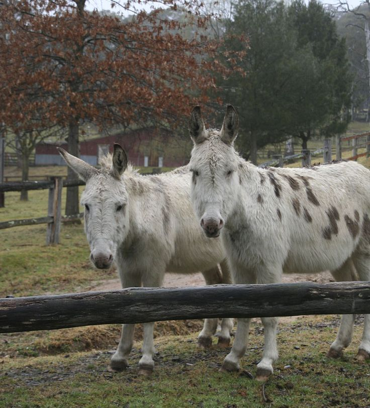 Double  Trouble . Our inseparable donkeys - He and Haw