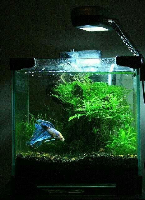 53 best betta aquariums images on pinterest fish tanks for Best betta fish tank