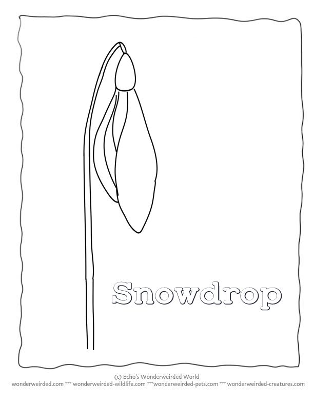 snowdrop coloring pages - 17 best images about 3 flowers on pinterest coloring