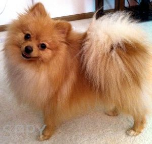 pomeranian colors tan 17 best ideas about pomeranian colors on pinterest 1136