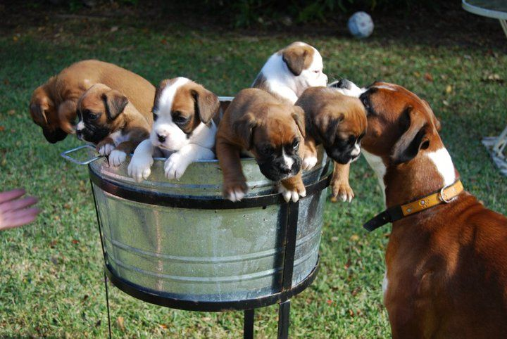 Boxer Babies in a Barrell #boxer #dog #puppies