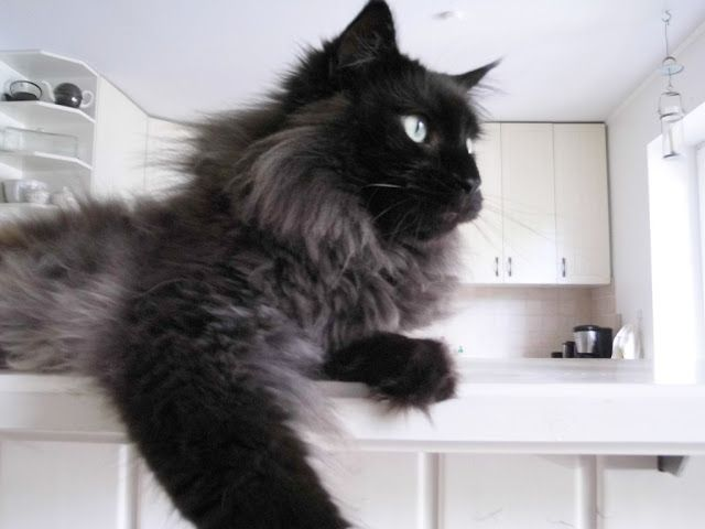 Beautiful long-haired cat (hva)