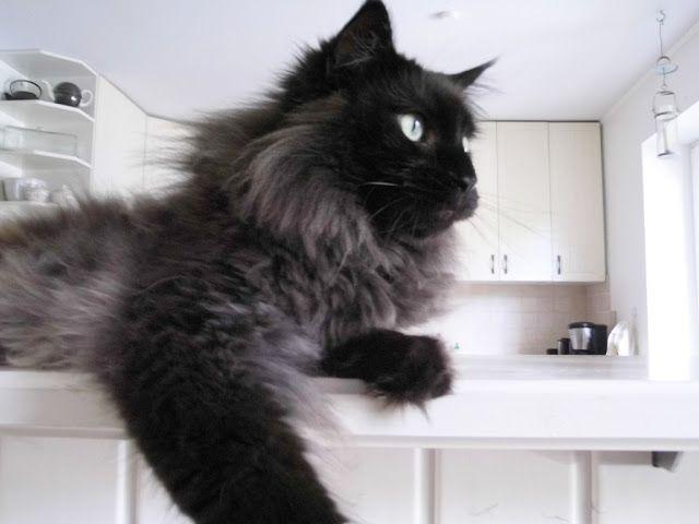 Beautiful long-haired cat (hva)