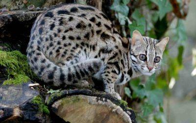 Cibo: #Gatto #leopardo: #carattere educazione e aspetto (link: http://ift.tt/2bymxUx )
